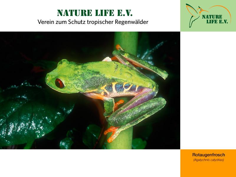 Rotaugenfrosch (Agalychnis calydrias) 800 x 600
