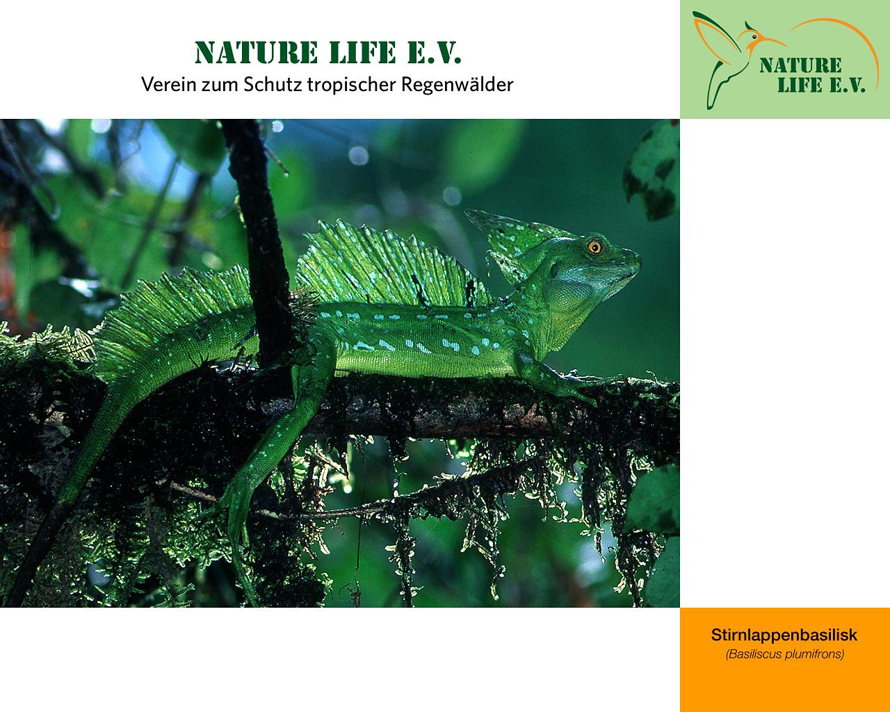 Stirnlappenbasilisk (Basiliscus plumifrons) 1280 x 1024