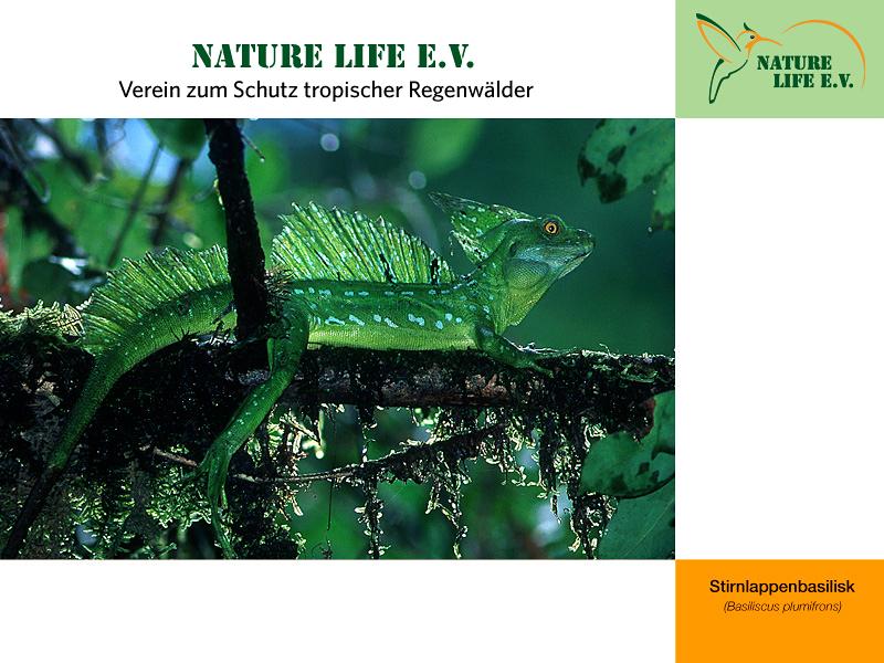 Stirnlappenbasilisk (Basiliscus plumifrons) 800 x 600