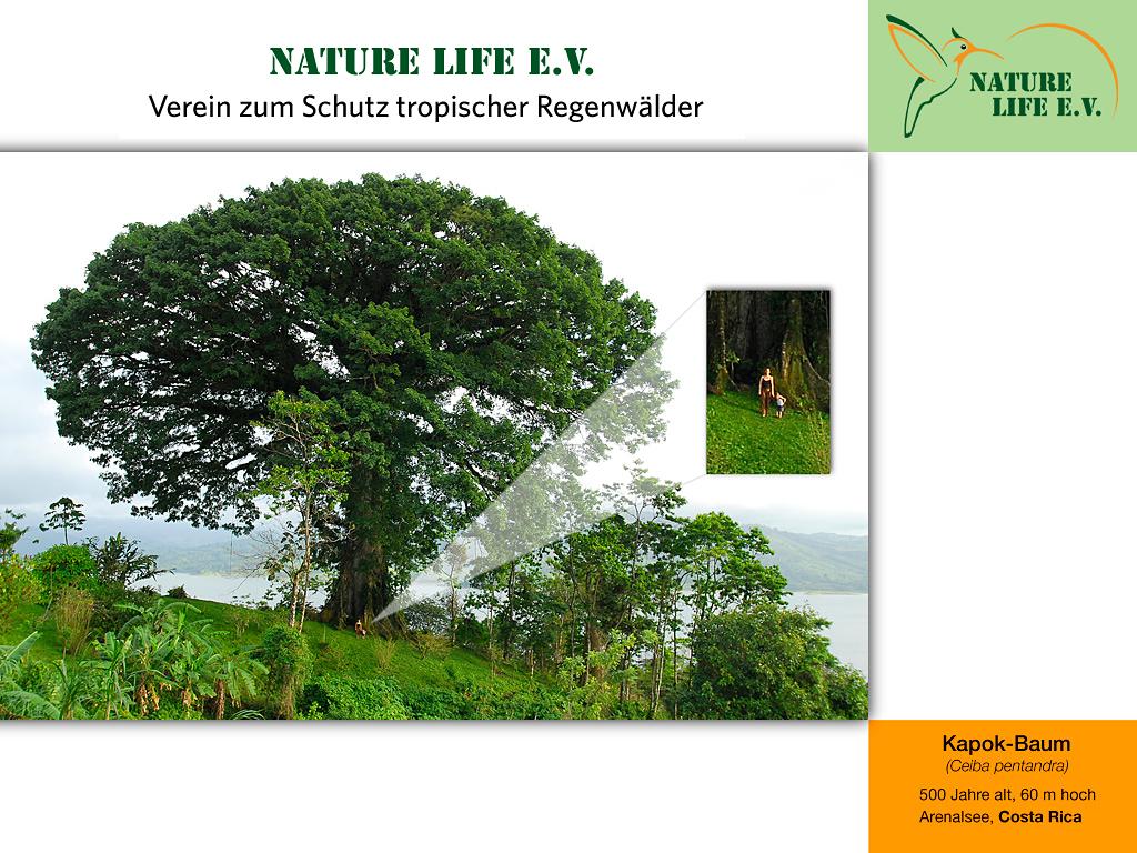 Kapok-Baum (Ceiba pentandra) 1024 x 768