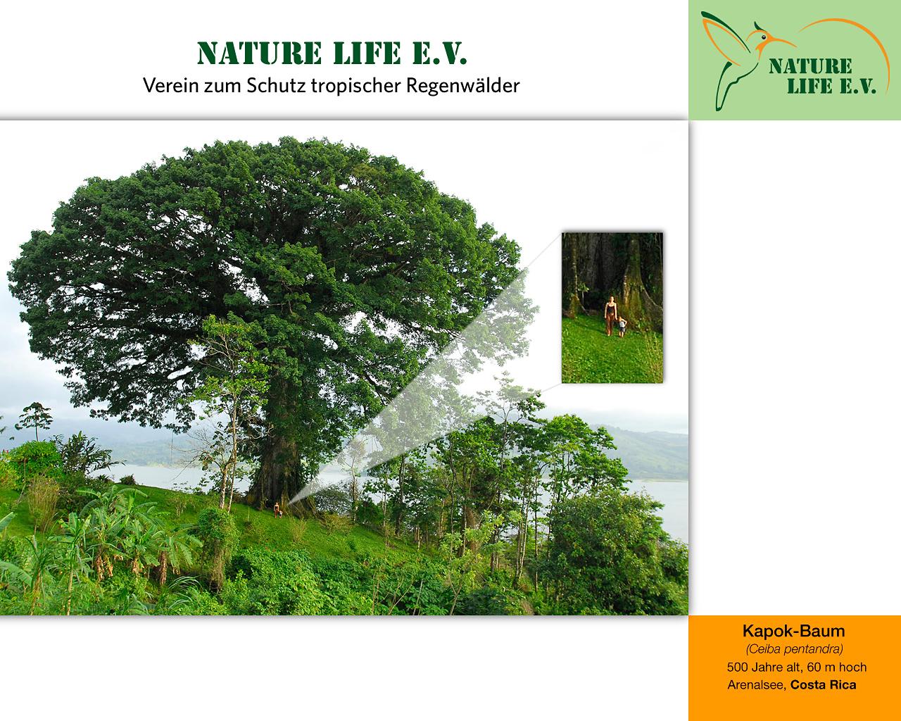 Kapok-Baum (Ceiba pentandra) 1280 x 1024