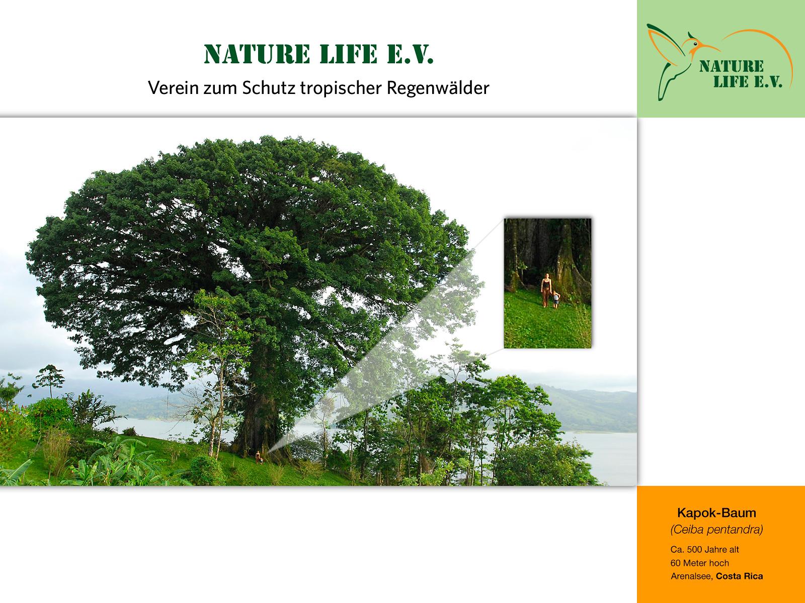 Kapok-Baum (Ceiba pentandra) 1600 x 1200