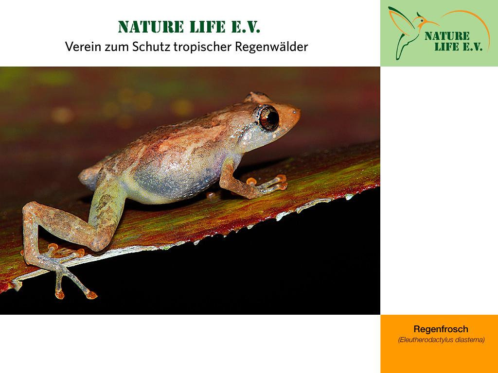 Regenfrosch (Eleutherodactylus diastema) 1024 x 768