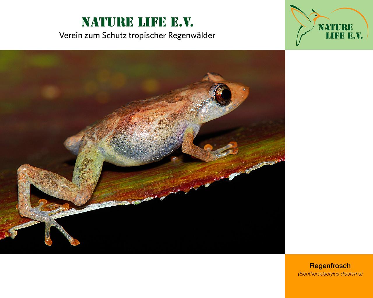 Regenfrosch (Eleutherodactylus diastema) 1280 x 1024
