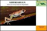 Regenfrosch (Eleutherodactylus diastema)