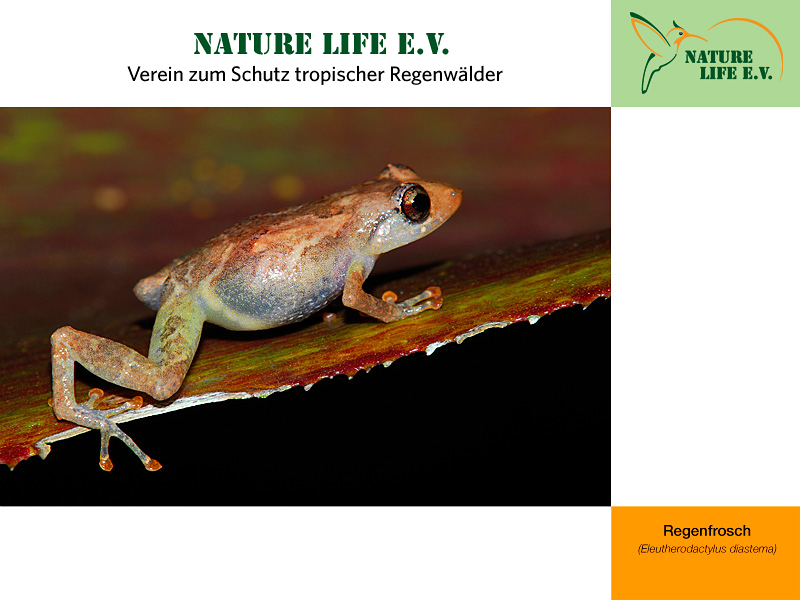 Regenfrosch (Eleutherodactylus diastema) 800 x 600