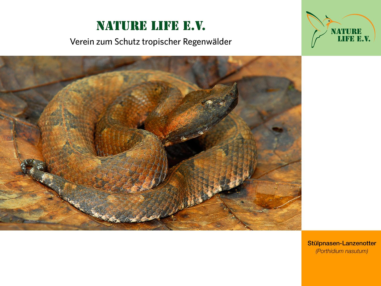 Stülpnasen-Lanzenotter (Porthidium nasutum) 1600 x 1200