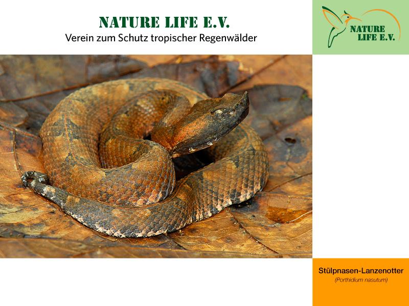 Stülpnasen-Lanzenotter (Porthidium nasutum) 800 x 600